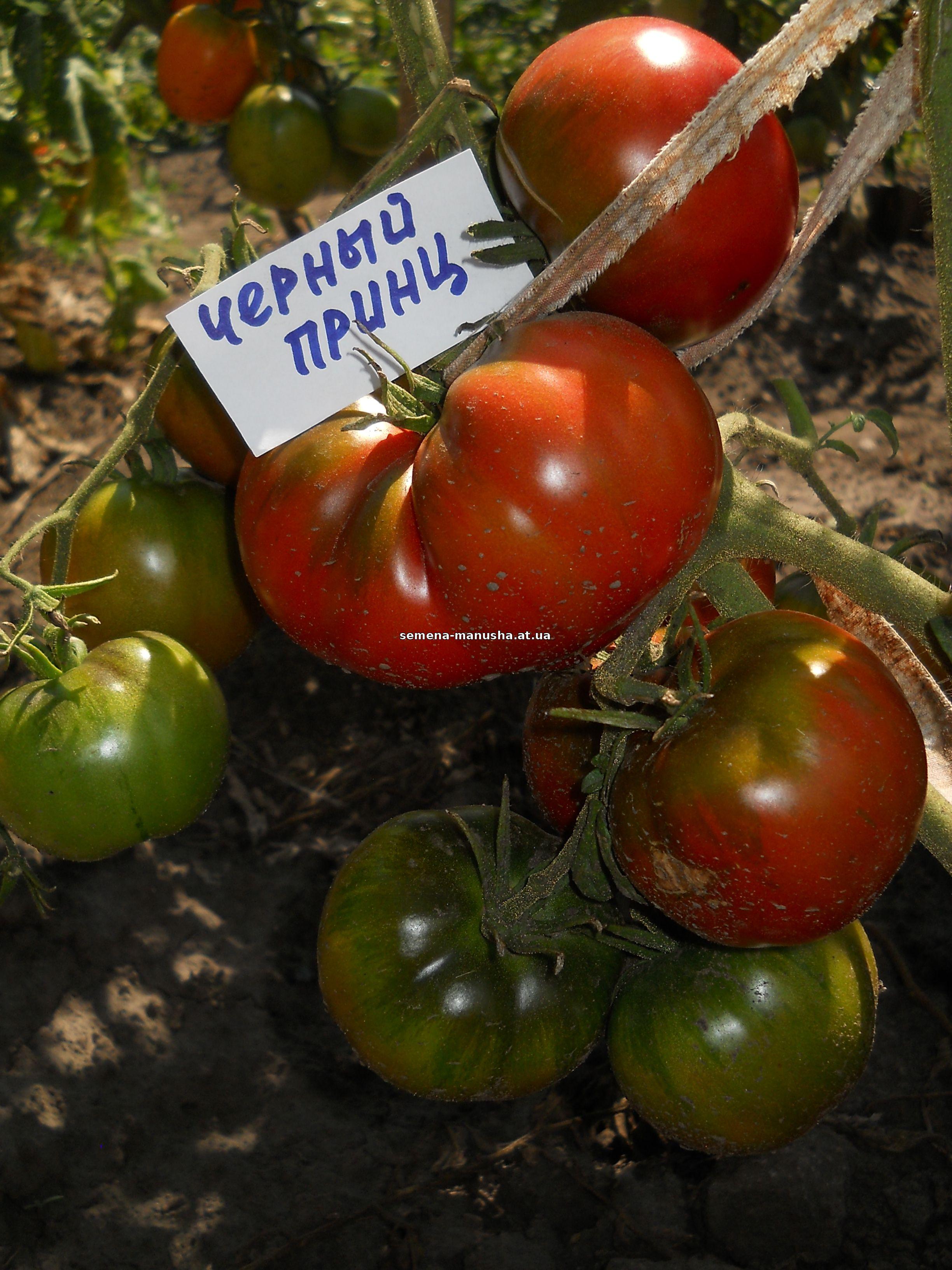 Безрассадный способ выращивания помидоров 94