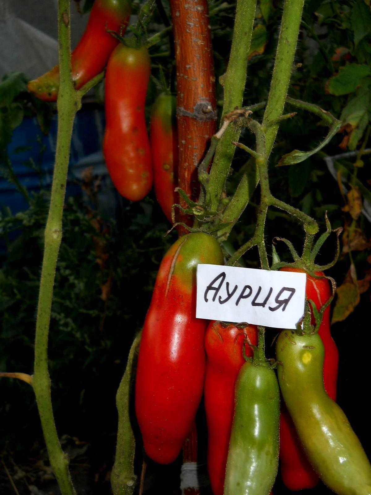 Аурия сорт томаты