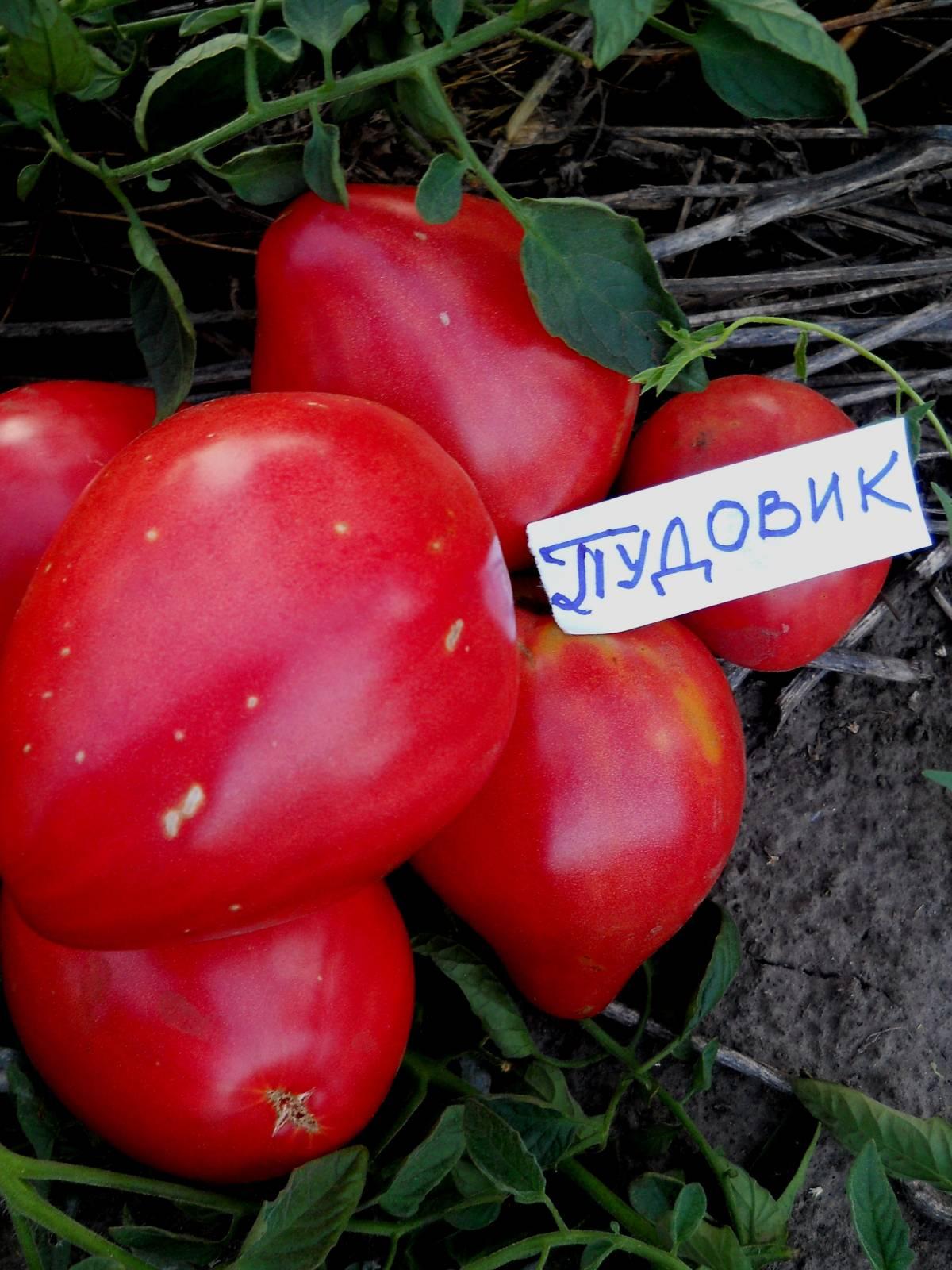помидоры пудовик отзывы с фото полностью оправдать пьяного