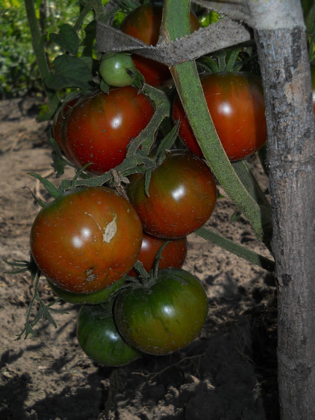 Выращивание помидор черный принц 31