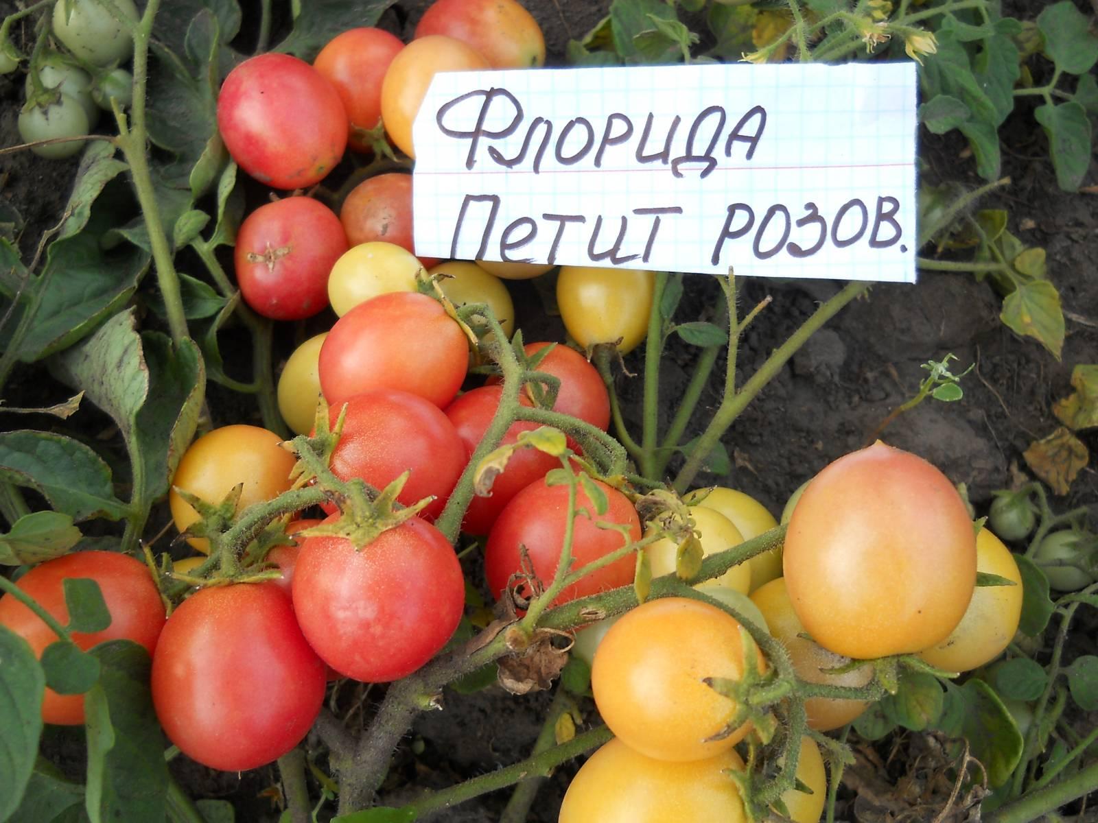florida-petite-seed