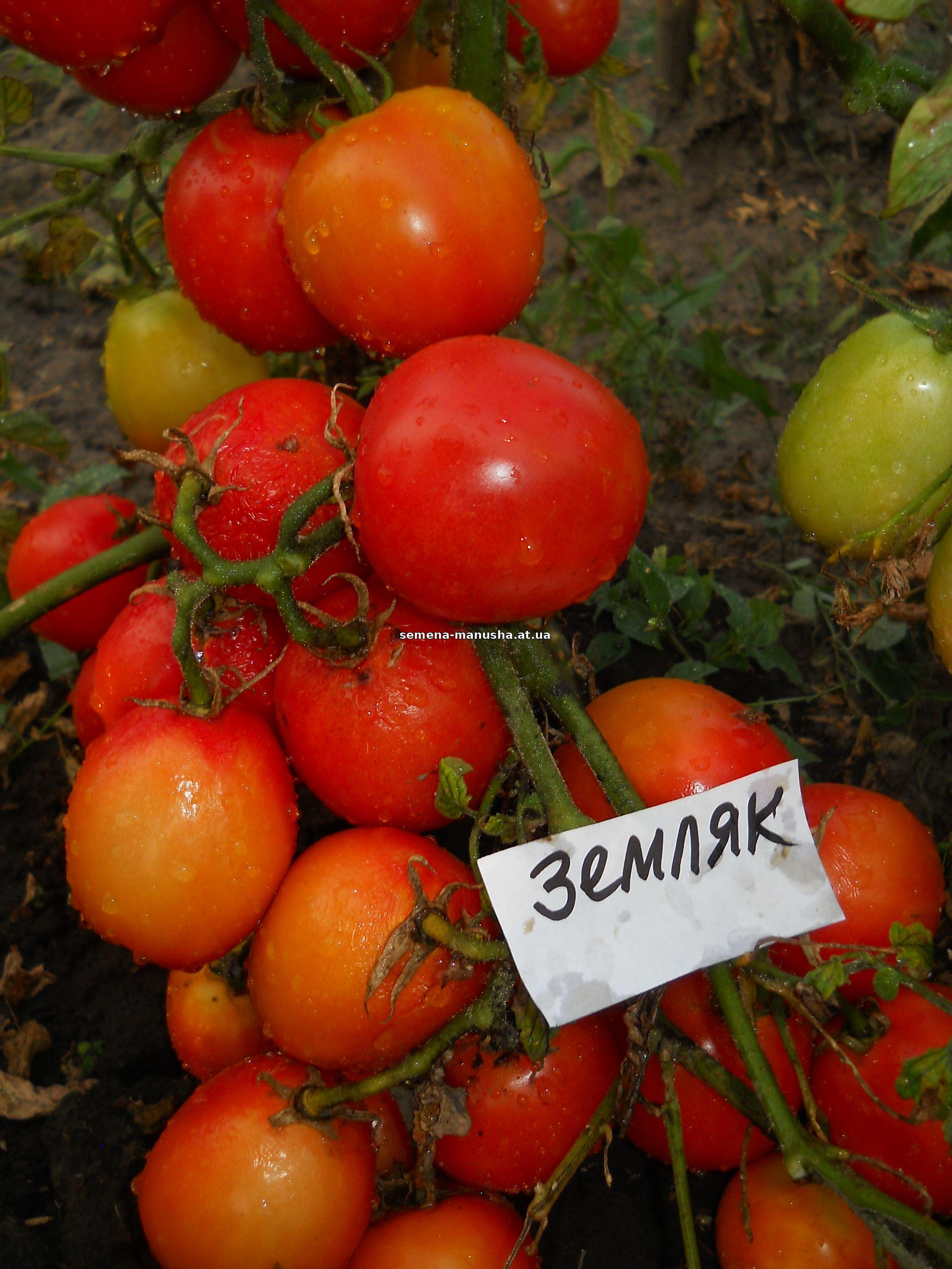 журнал по выращиванию томатов